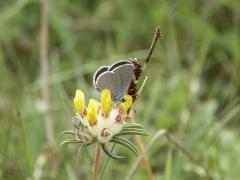 Lycaenidae: Cupido minimus