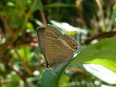 Lycaenidae: Lampides boeticus