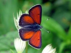 Lycaenidae: Lycaena hippothoe