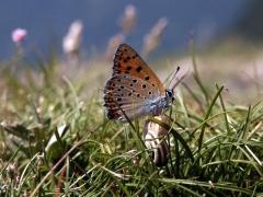 Lycaenidae: Lycaena alciphron