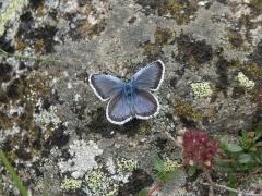 Lycaenidae: Plebejus argus