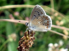 Lycaenidae: Polyommatus dorylas
