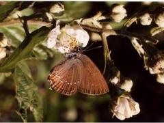 Lycaenidae: Satyrium ilicis