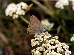 Lycaenidae: Satyrium acaciae