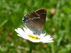 Lycaenidae: Satyrium spini