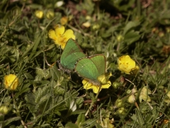 Lycaenidae: Callophrys rubi