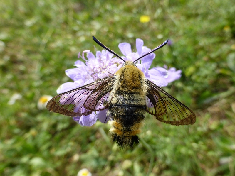 Hemaris tityus, Narrow- bordered Bee Hawkmoth -