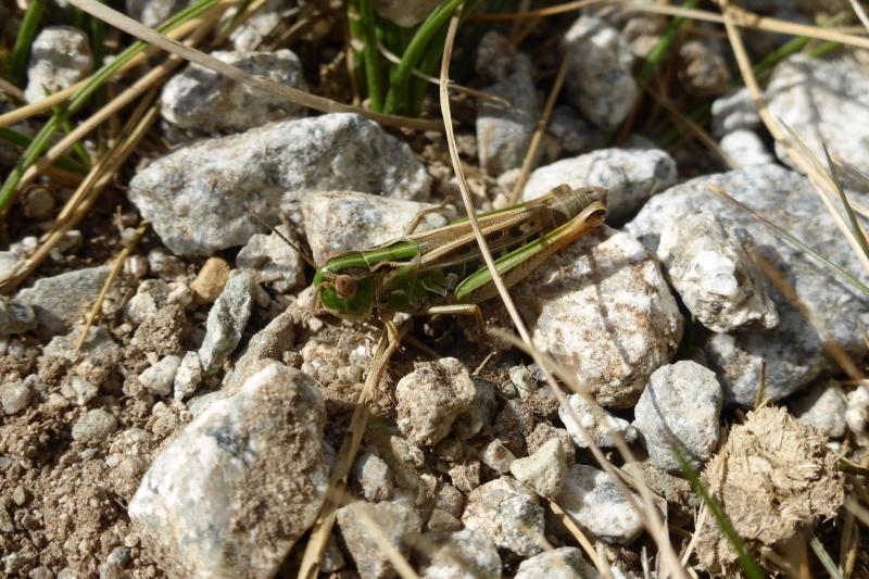 Stenobothrus nigromaculatus female, Black-spotted Grasshopper