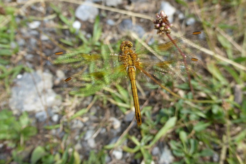 Sympetrum flaveolum, Yellow-winged Darter