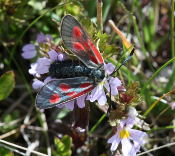 Zygaena exulans, Mountain Burnet