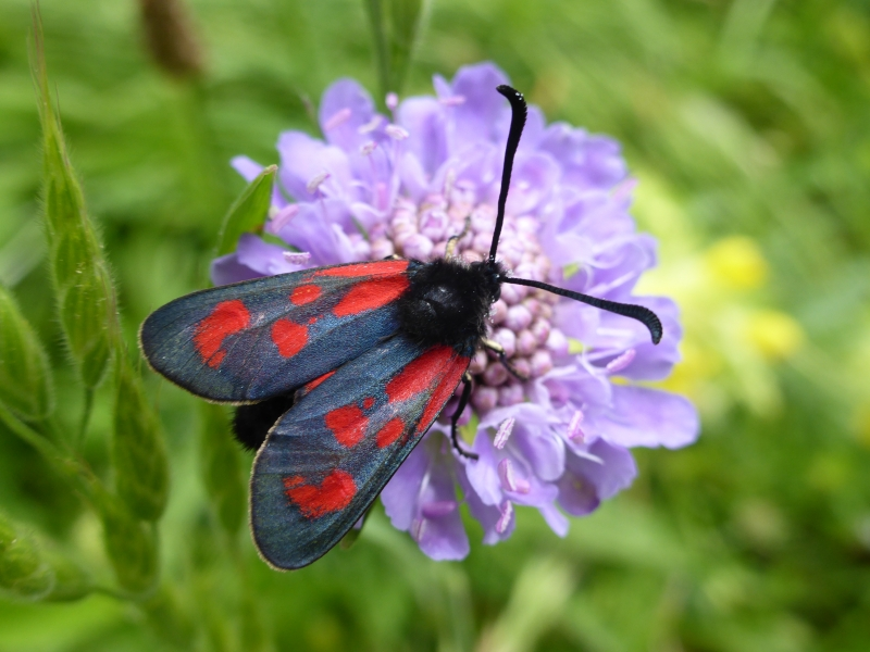 Zygaena loti, Slender Scotch Burnet