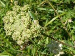 Ephippiger ephippiger, Saddle-backed Bush-cricket