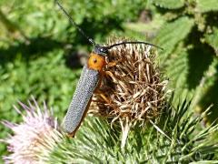 Oberea oculta, Twinspot Longhorn beetle