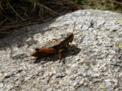 Podisma pedestris, Brown Mountain Grasshopper