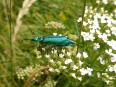 Lytta vesicatoria, Spanish Fly