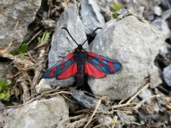 Zygaena anthyllidis, Gavarnie Burnet