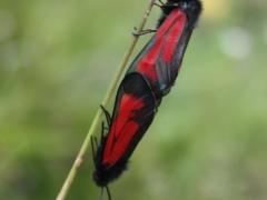 Zygaena purpuralis, Transparant Burnet
