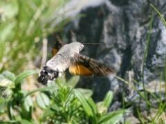 Macroglossum stellatarum, Hummingbird Hawkmoth
