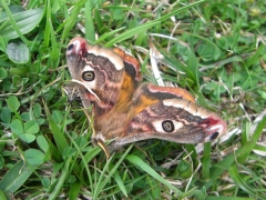 Saturina pavonia emperor, Emperor Moth