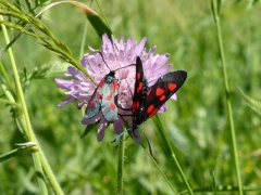 Zygaena viciae (f) left Z. lonicerae (m), New Forest Burnet, Narrow-bordered Five-spot Burnet