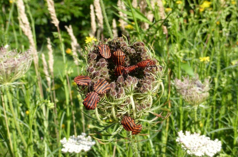 Graphosoma italicum, Minstrel bug, Italian striped bug
