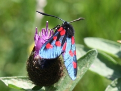 Zygaena trifolii, Five-spot Burnet