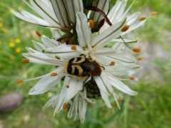 Trichius fasciatus, Bee beetle