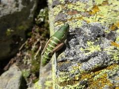 Cophopodisma pyrenaea, Pyrenean Mountain Grasshopper