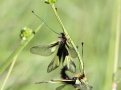 Ascalaphid Libelloides coccajus, Owly sulphur