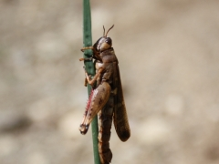 Aiolopus strepens, Long-winged Grasshopper (Southern Europe)