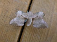 Laothoe populi, Poplar Hawkmoth