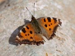 Nymphalidae: Nymphalis polychloros