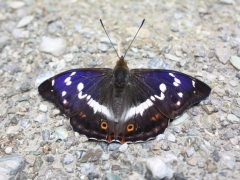 Nymphalidae: Apatura iris