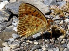 Nymphalidae:Argynnis adippe