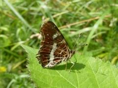 Nymphalidae: Araschnia levana