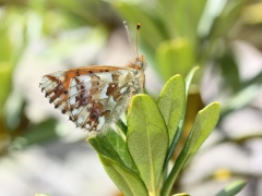 Nymphalidae: Boloria pales