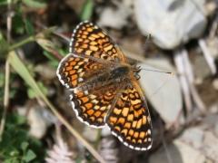 Nymphalidae: Melitaea phoebe