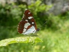 Nymphalidae: Limentis reducta