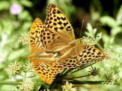 Nymphalidae: Argynnis paphia