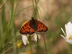 Nymphalidae: Melitaea didyma