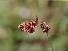 Nymphalidae: Boloria dia