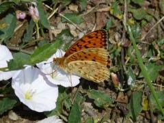 Nymphalidae: Argynnis niobe