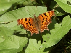Nymphalidae: Polygonia c-album