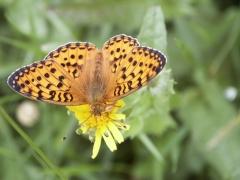 Nymphalidae: Argynnis aglaja