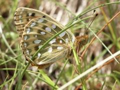 Nymphalidae; Argynnis aglaja