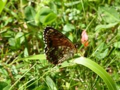 Nymphalidae: Melitaea diamina