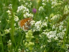 Nymphalidae: Melitaea cinxia