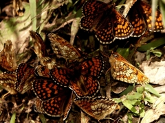 Nymphalidea: Mellicta athalia