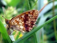 Nymphalidae: Brenthis ino