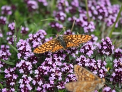 Nymphalidae: Euphydryas aurinia